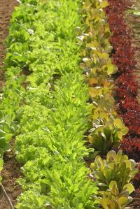 A beautiful rainbow of lettuce, with sentimental value!